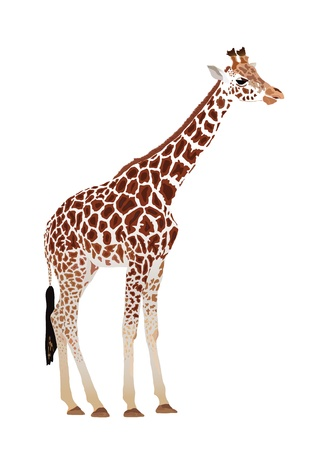 camelopardalis: Giraffe (Giraffa camelopardalis)  on white background Stock Photo