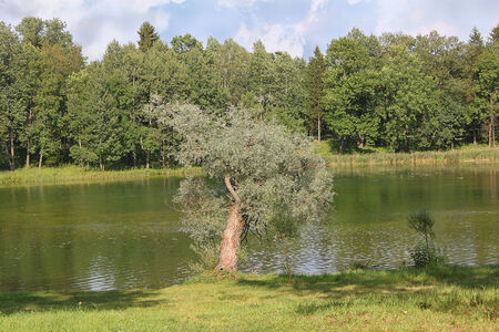 colorfully: Solitary willow tree on the shore of lake