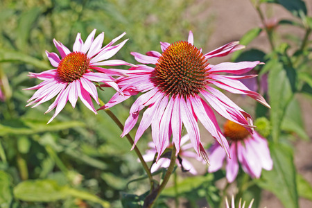 ornamental plant: Echinacea - medicinal and ornamental plant