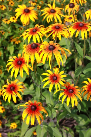 showy: Rudbeckia are cultivated in gardens for their showy yellow or gold flower heads Stock Photo