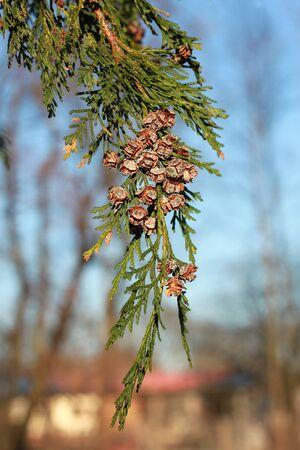 lawson: Chamaecyparis lawsoniana (Lawson cypress) is a species of conifer in the genus Chamaecyparis, family Cupressaceae, native to Oregon and California.