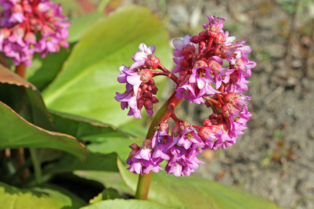 botanist: Bergenia stracheyi is a plant species in the genus Bergenia found in the Western Himalayas, Afghanistan and Tajikistan. The name Bergenia was given to the genus in honour of the German botanist and physician Karl August von Bergen (1704-1759).