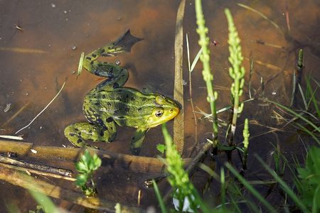 lessonae: The pool frog (Pelophylax lessonae).  Half of the body hidden under the water plants.