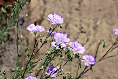 lint: Linum perenne (perennial flax, blue flax or lint). Flowering plant in the family Linaceae, native to Europe, primarily in the Alps and locally in England. Stock Photo