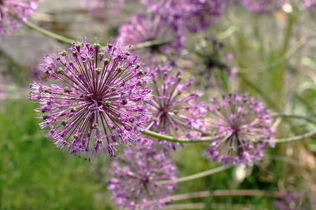 Allium jesdianum Akbulak. These are onions with large heads of flowers, usually spherical, with the pointed petals. Flowers are usually pink, purple or white Stock Photo