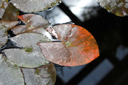 Nymphaea. Leaves of the water Lily