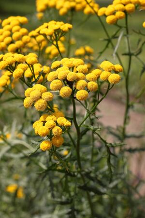 Tansy (Tanacetum vulgare) is a perennial, herbaceous flowering plant of the aster family, native to Eurasia. It is also known as common tansy, bitter buttons, cow bitter, or golden buttons. Used in medicine