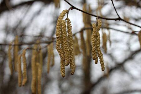 Alder catkins in the spring.