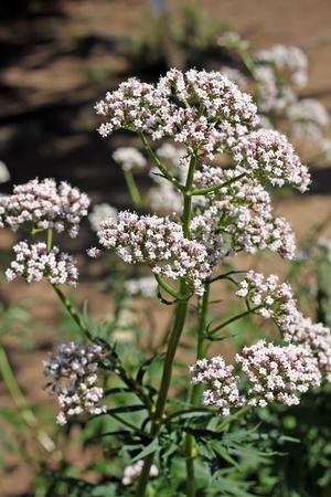 Valerian (Valeriana officinalis) plant. Valeriaan is al sinds de tijd van het oude Griekenland en Rome als geneeskrachtig kruid gebruikt.