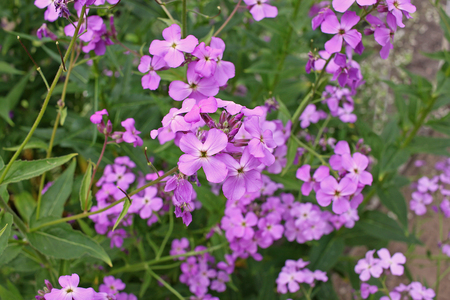 Hesperis matronalis is a herbaceous plant species in the mustard family, Brassicaceae. It has numerous common names, including dames rocket, damask violet, dames-violet,dames-wort, dames gilliflower, night-scented gilliflower, queens gilliflower, rogu