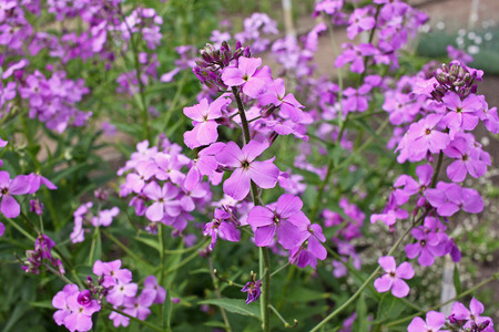 gilliflower: Hesperis matronalis is a herbaceous plant species in the mustard family, Brassicaceae. It has numerous common names, including dames rocket, damask violet, dames-violet,dames-wort, dames gilliflower, night-scented gilliflower, queens gilliflower, rogu