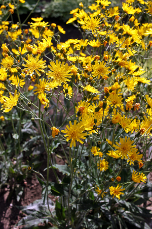 hawkweed: Hieracium maculatum, the spotted hawkweed. It is cultivated as an ornamental