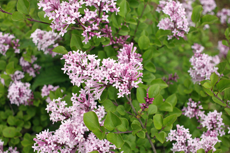 Syringa meyeri Palibin (Korean lilac) is a dense, compact, low-spreading, deciduous shrub that gets decoratively covered with a lilac-pink flowers