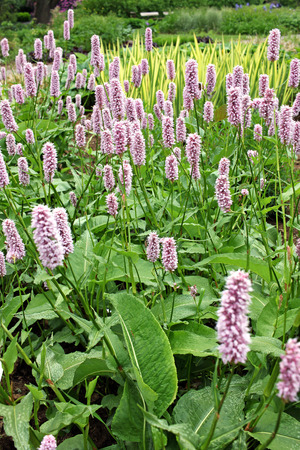 Bistorta officinalis Superba, commonly known as bistort or European bistort. Other common names include snakeroot, snake-root, snakeweed and Easter-ledges. Cultivated both as an ornamental plant and as a vegetable