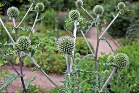 glandular: Echinops sphaerocephalus, known by the common names glandular globe-thistle, great globe-thistle or pale globe-thistle Stock Photo