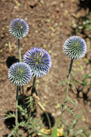 Echinops ritro is a clump-forming, 4-foot tall plant with golf ball sized blue flower heads atop stiff, rigid stems clad with deeply lobed, dark green, thistle-like foliage.