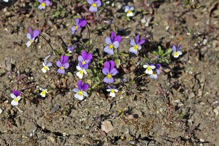 Viola tricolor, also known as Johnny Jump up, heartsease, hearts ease, hearts delight, tickle-my-fancy, is a common European wild flower, growing as an annual or short-lived perennial.