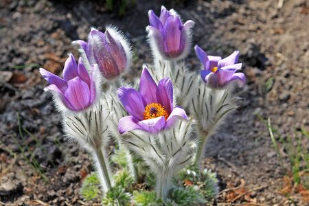 Pulsatilla patens flowers in spring. Common names include Eastern pasqueflower, prairie crocus, and cutleaf anemone 스톡 콘텐츠