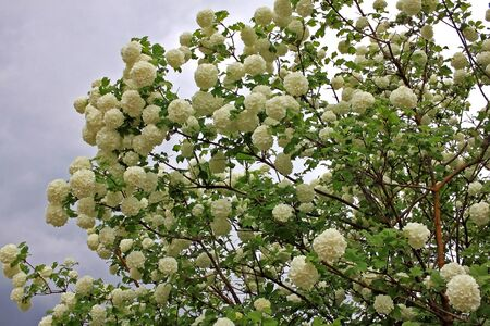 Viburnum opulus sorte Snowball is grown as an ornamental plant for its flowers and berries. Flowers are only of the larger sterile type, with globular flower heads. Stock fotó