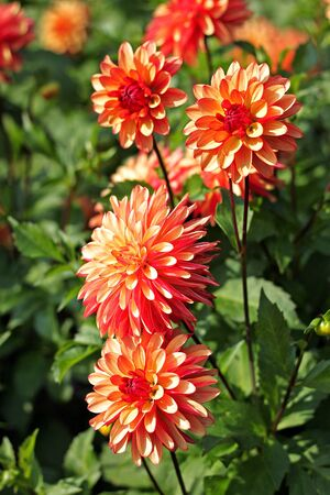 Rose-colored Dahlia in the botany garden
