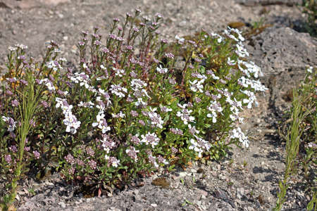 Iberis commonly called candytuft are used as ornamental plants for rock gardens, bedding, and borders. Candytuft is a cold hardy, fast-growing annual