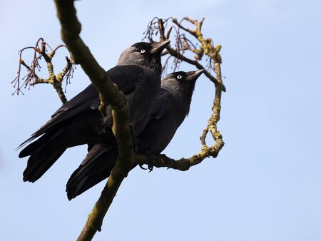 jackdaws on a branch Stock Photo - 21138986