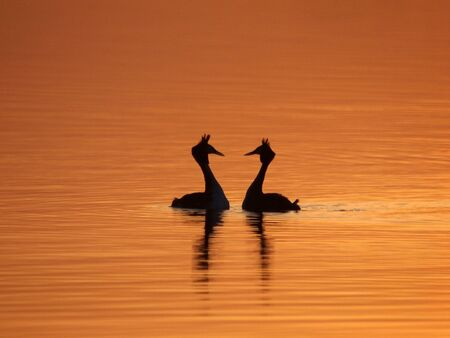urination: courting grebes by sunset Stock Photo