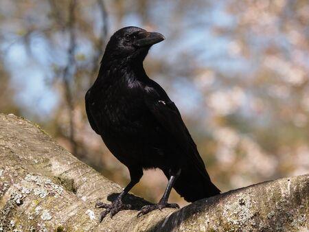 raven: crow