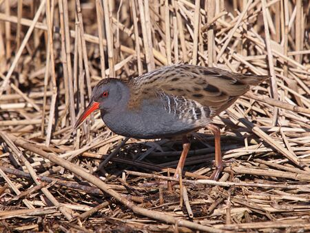 ral: water rail  Stock Photo