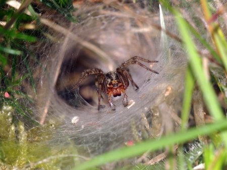 Funnel spider photo