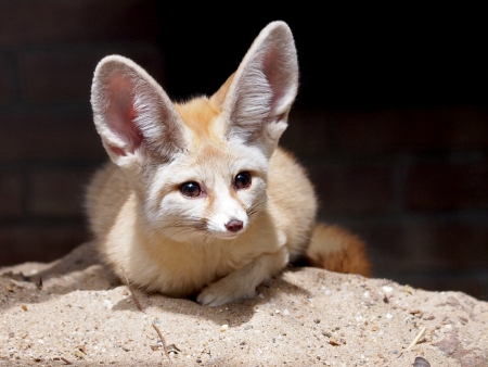 Fennec Stock Photo