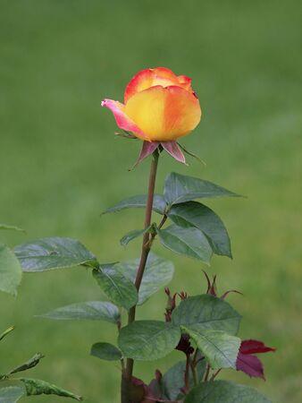 rosas amarillas: Rose amarilla Foto de archivo