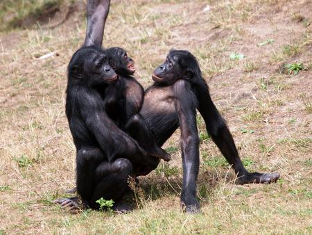 bonobo: Monos Bonobo apareamiento Foto de archivo