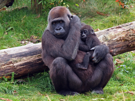 Gorilla with baby 스톡 콘텐츠