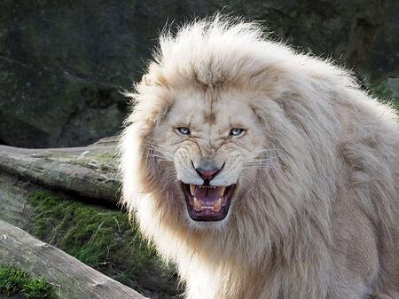 Witte Leeuw Stockfoto - 26826016