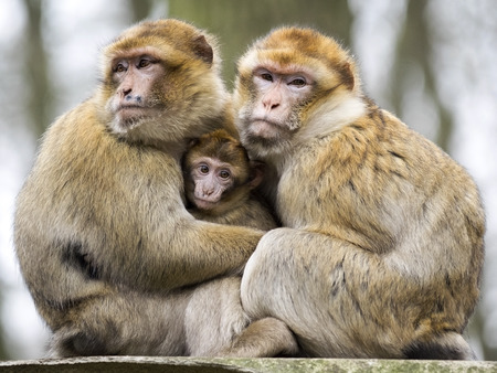 berber: Berber monkeys with baby