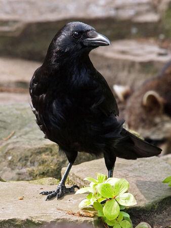 beack: Crow Stock Photo