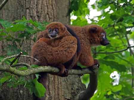 Red bellied lemur