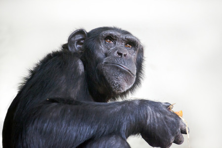 zoo animals: Portrait of a Chimpansee Stock Photo