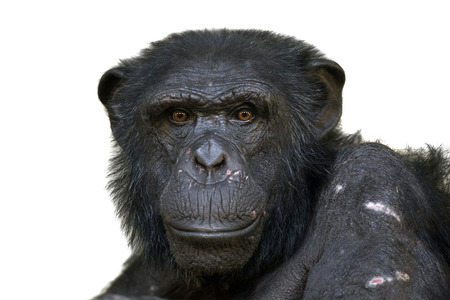 monkey face: Chimpansee Stock Photo