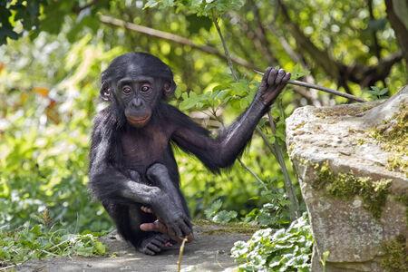 bonobo: Bonobo baby