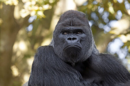 silverback: gorilla silverback Stock Photo