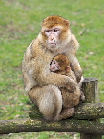 zoo youth: Berber monkey mother with baby