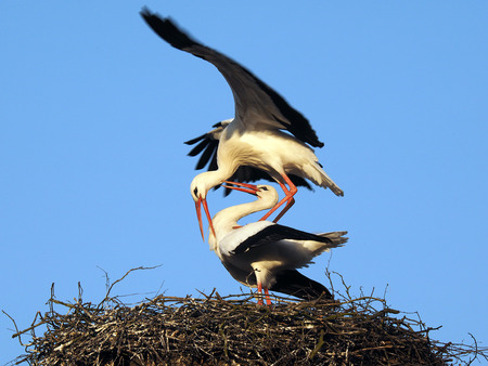 withe: Withe Stork, Ciconia ciconia, mating