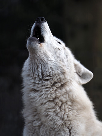 Howling White Wolf photo