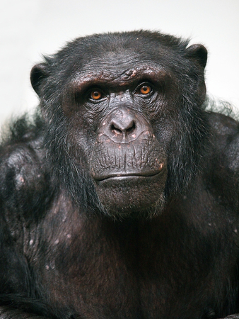 Chimpansee  Stockfoto - 36132338