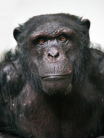 animal sad face: chimpanzee