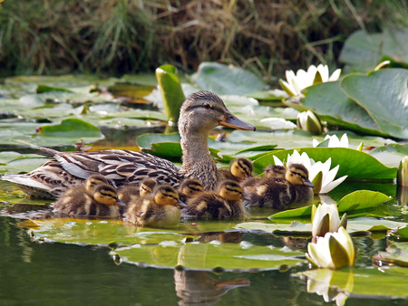 Mother duck and her ducklings between water lily flowers Stock Photo