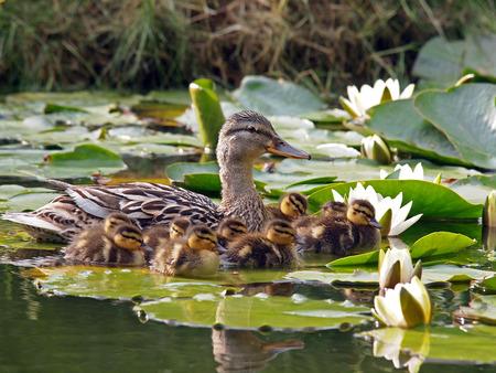 Mother duck and her ducklings between water lily flowers Standard-Bild