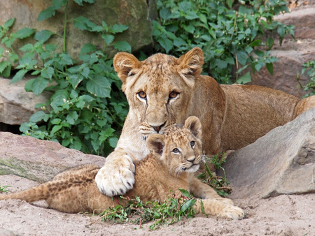 An older lioness is playing with her baby sister